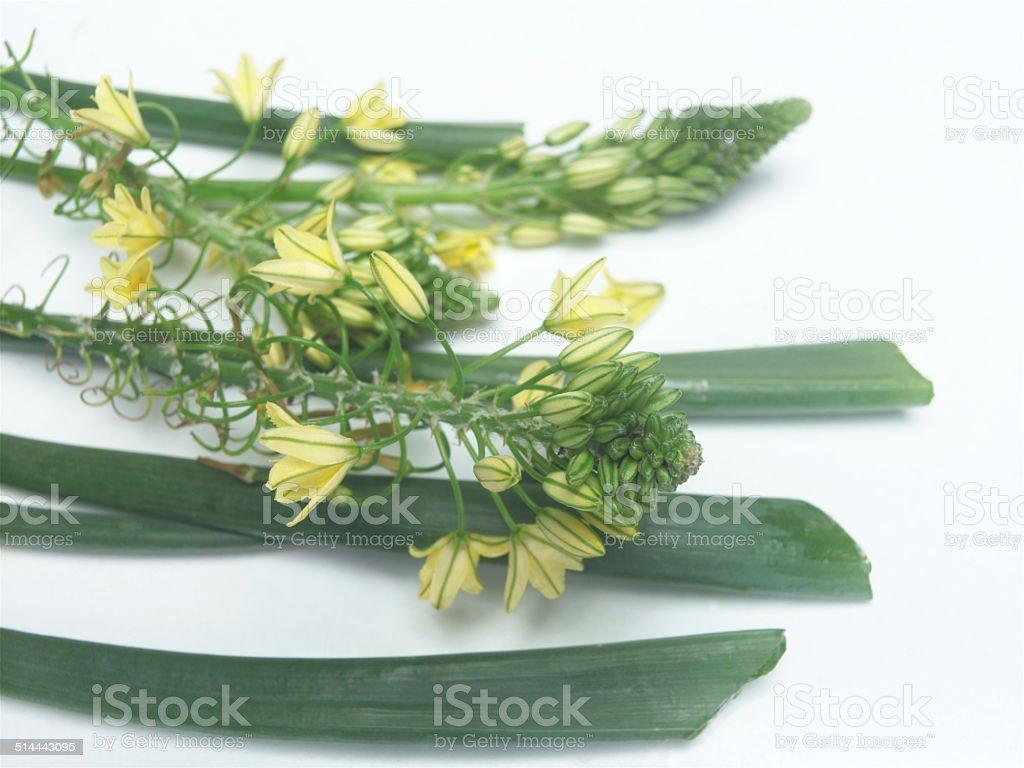 Bulbine frutescens stock photo