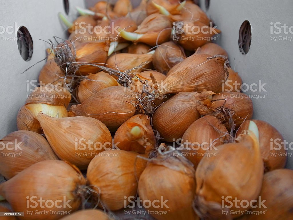 bulbs irises stock photo