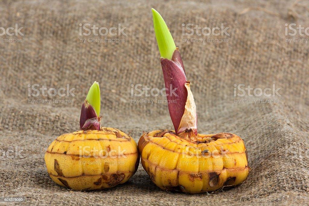 bulbs of gladiolus stock photo