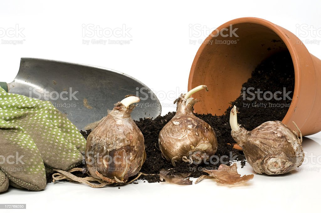 bulbs-ready to plant stock photo