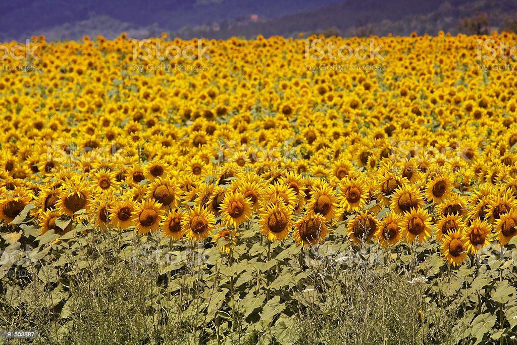 Bulgaria Sunflowers stock photo