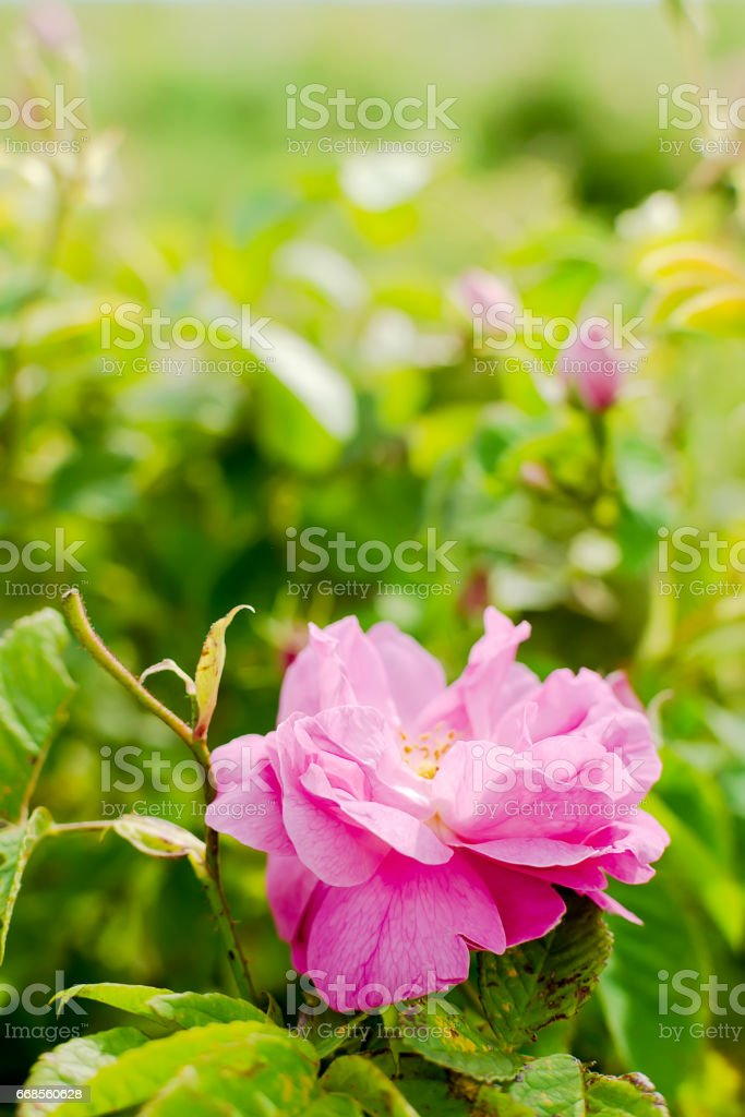 Bulgarian Damascena Rose stock photo