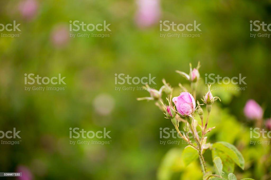 Bulgarian pink rose stock photo
