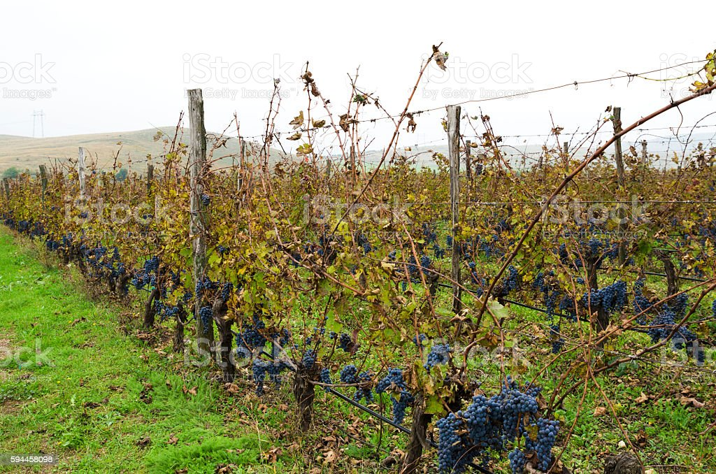 Bulgarian vineyard during the harvesting in a cloudy rainy day. stock photo