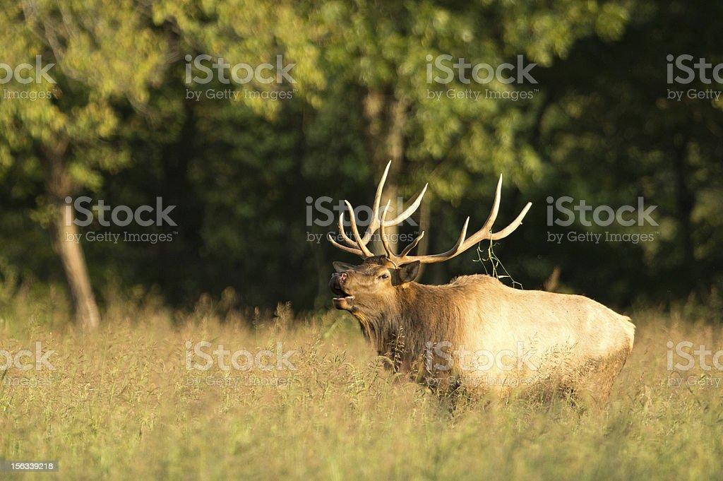 Bull adult male elk in Arkansas field royalty-free stock photo