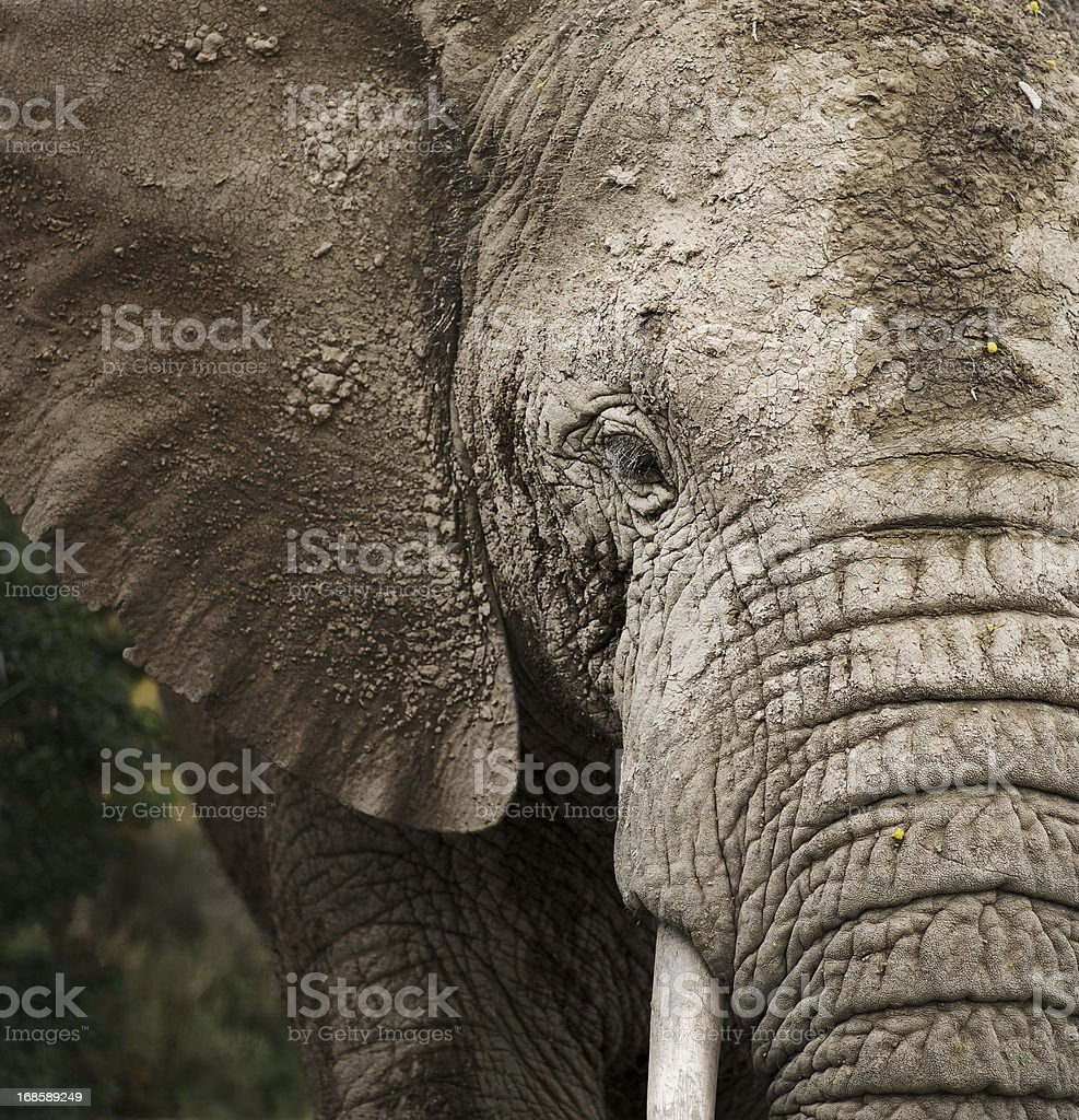 Bull African Elephant, South Africa. stock photo