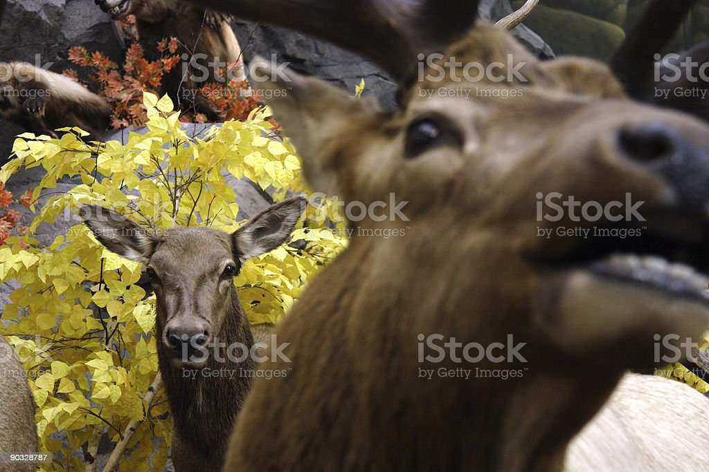 bull and cow elk royalty-free stock photo