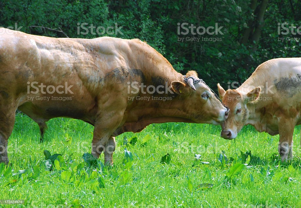 Bull and cow in love. royalty-free stock photo
