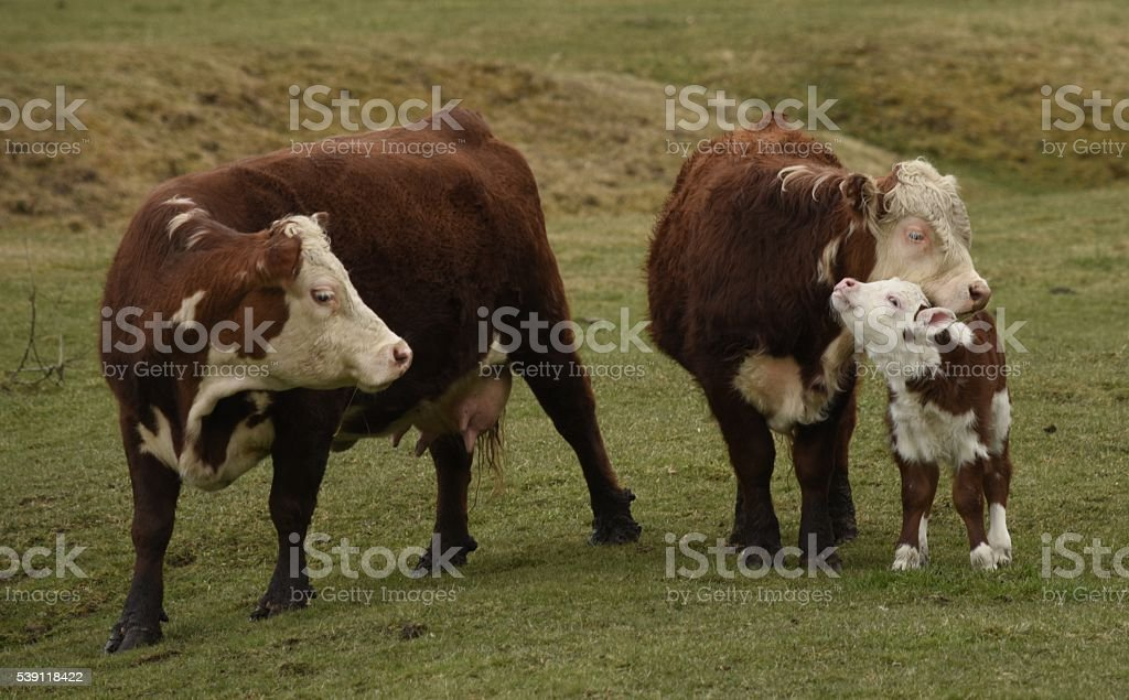 bull and cow nuture their calf stock photo