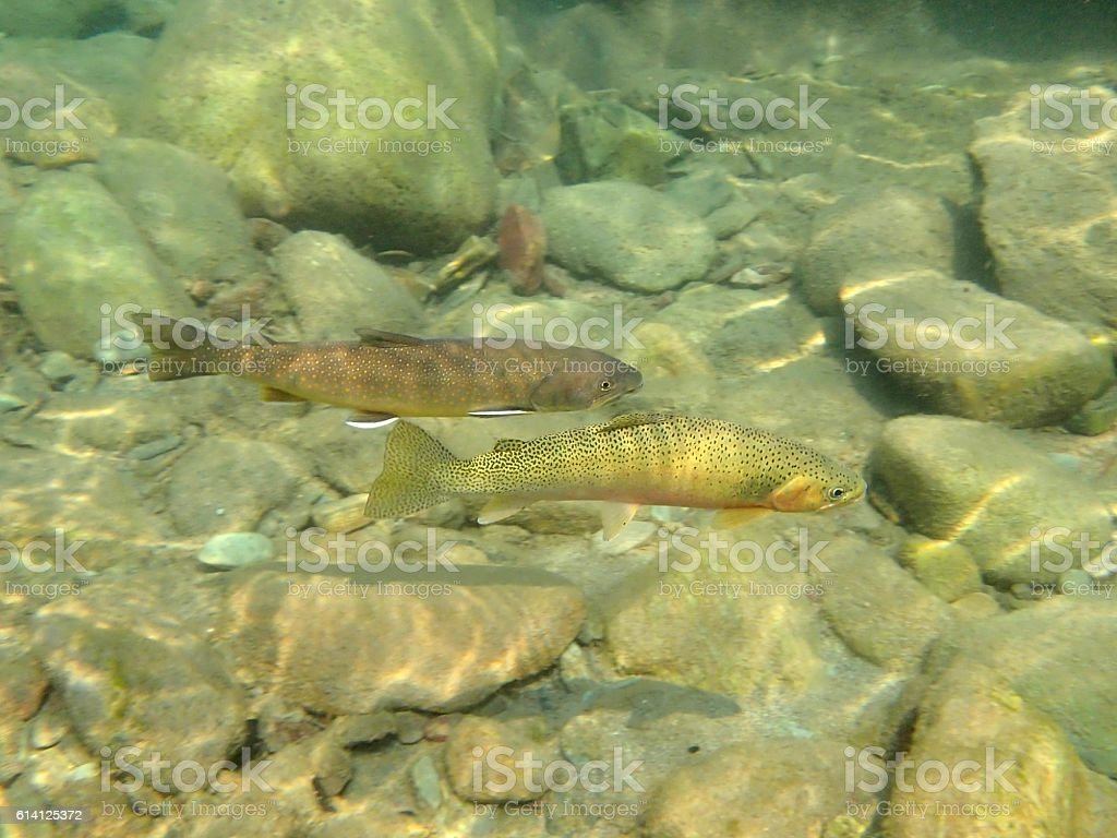 Bull and Cutthroat Trout stock photo