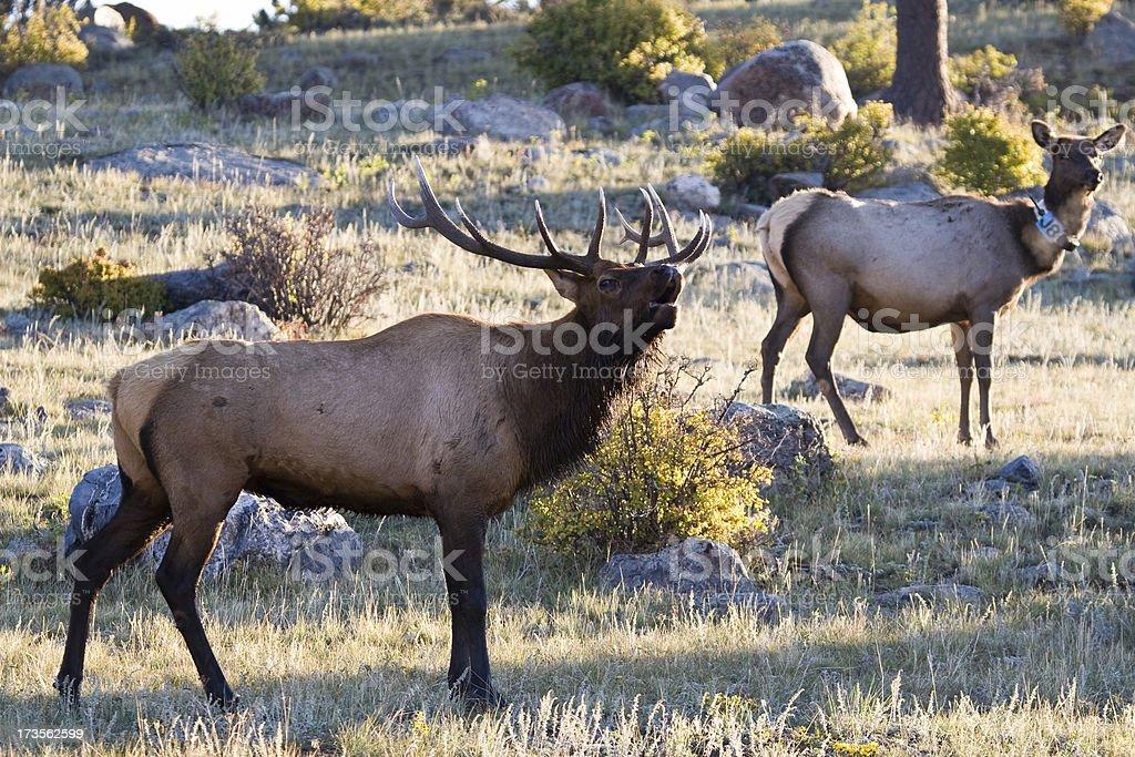 Bull and Doe Elk, Rocky Mountain National Park, Colorado stock photo