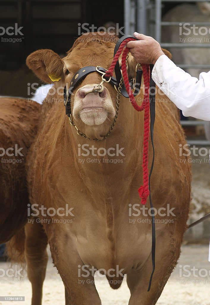 Bull at an agricultural show royalty-free stock photo