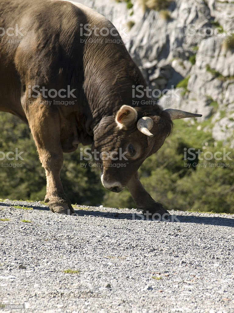 bull attacking stock photo