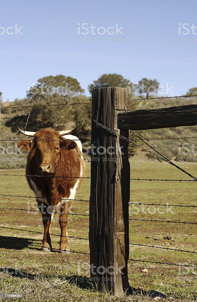 bull behind a fence royalty-free stock photo