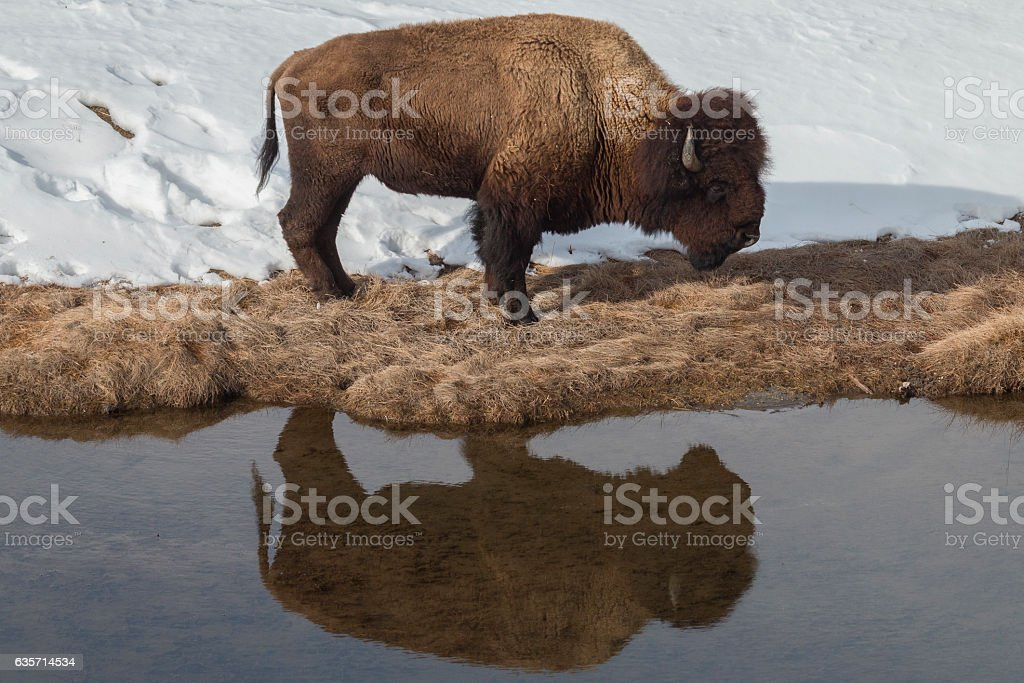 Bull bison standing near the Madison River in Yellowstone. stock photo