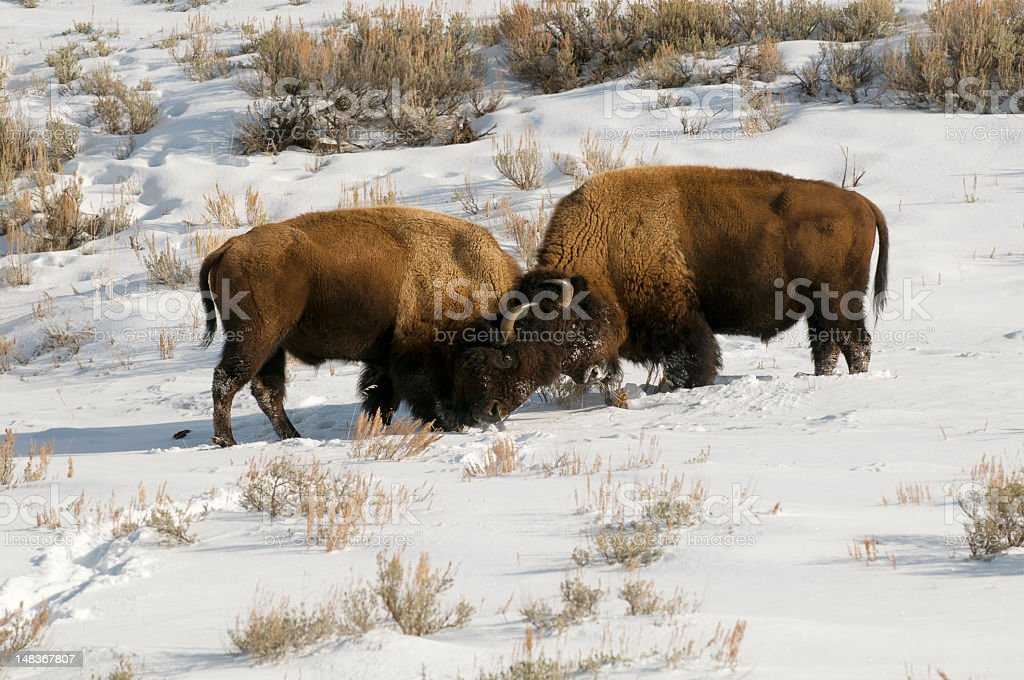 Bull bisons fighting in Yellowstone park snow royalty-free stock photo