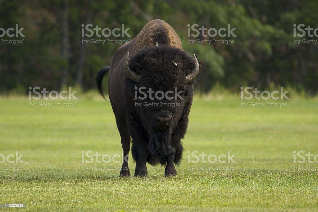 Bull Buffalo royalty-free stock photo