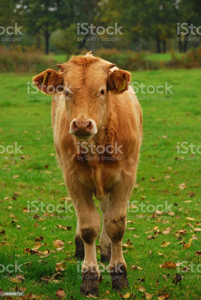 Bull calf of the Charolais Cattle stock photo