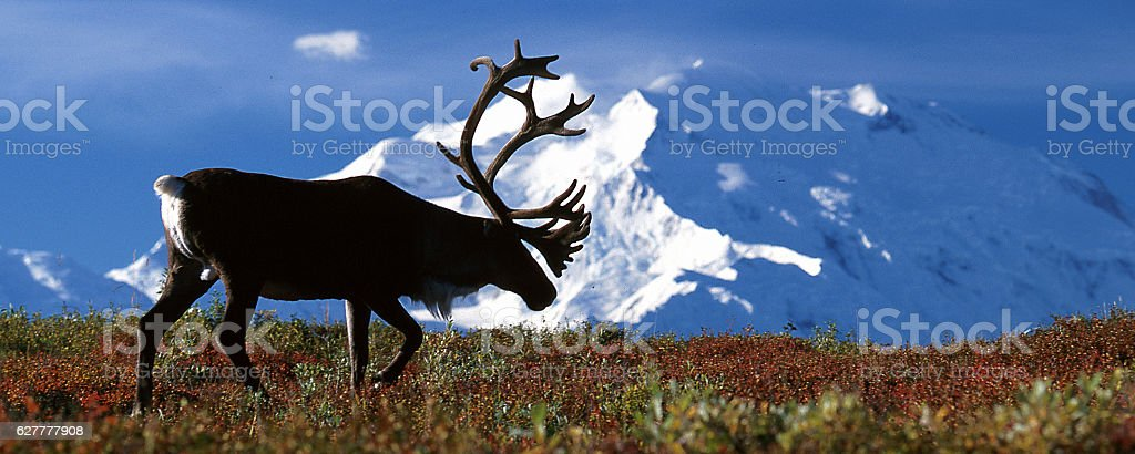 Bull caribou walking in front of Mt McKinley stock photo
