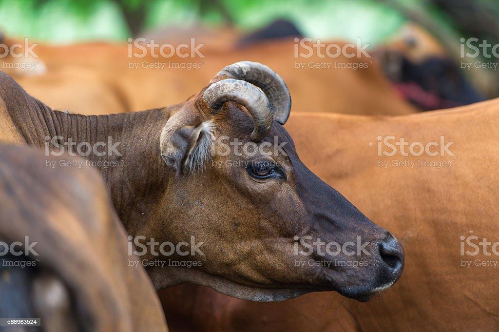 Bull close up in big herd. stock photo