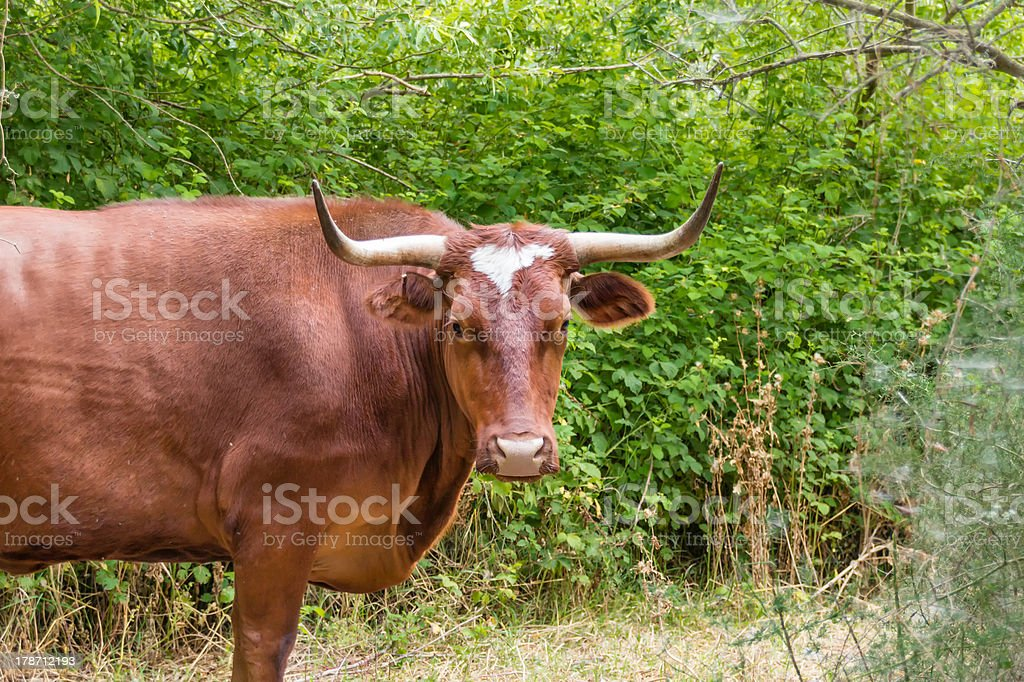 Bull cow with large horns royalty-free stock photo