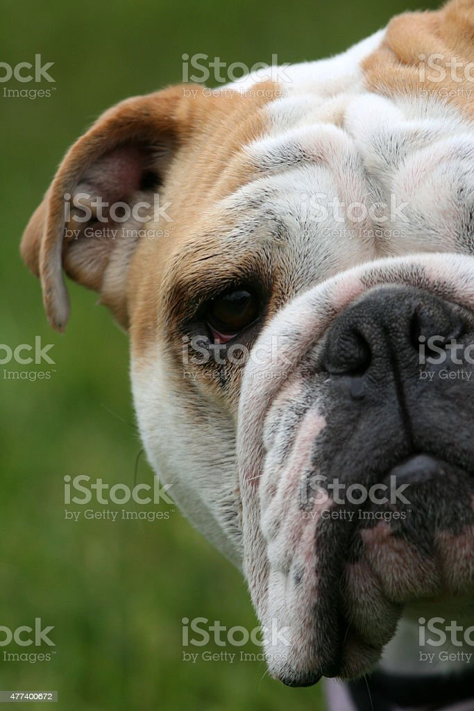 Bull Dog Portrait stock photo