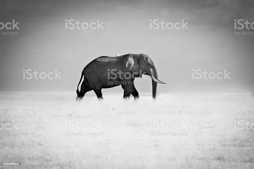 Bull Elephant In Black And White stock photo