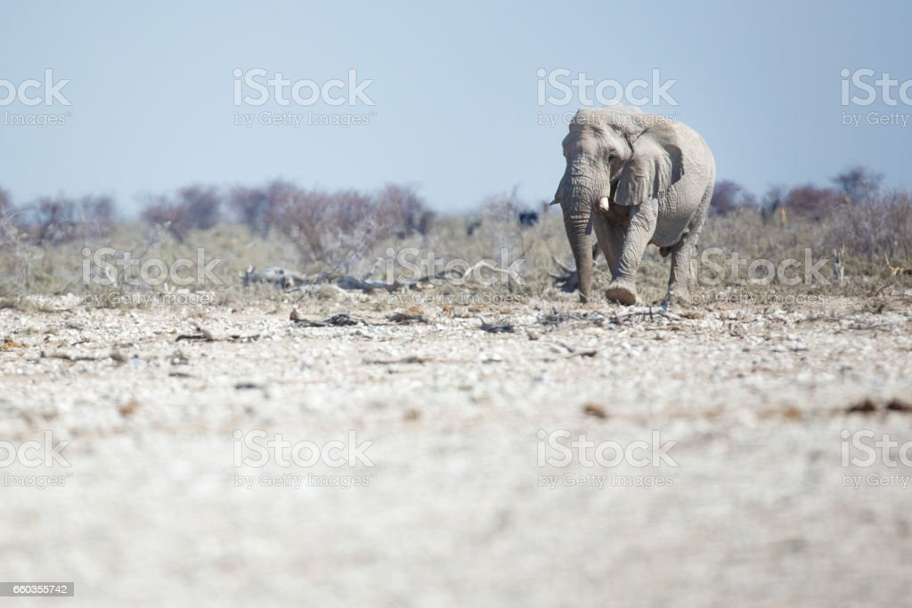 Bull elephant in Etosha National Park stock photo