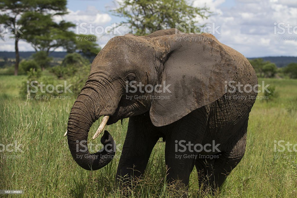 Bull Elephant in Tanzania stock photo