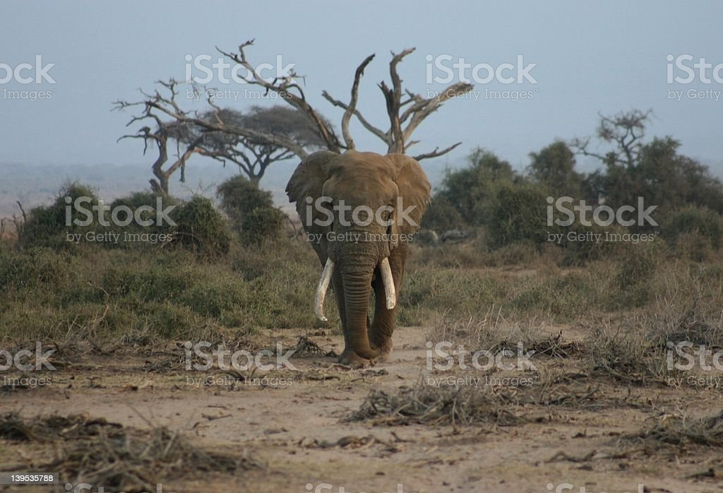 Bull elephant royalty-free stock photo