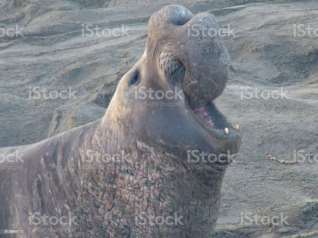 Bull Elephant Seal stock photo