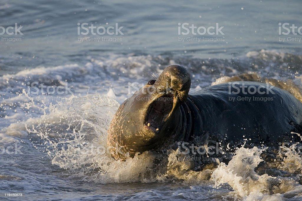 Bull Éléphant de mer se pour combattre adversaire photo libre de droits