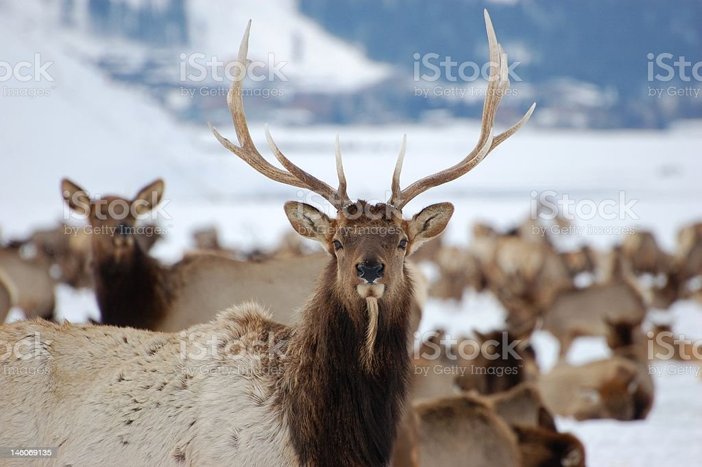 Bull Elk and Winter Range stock photo