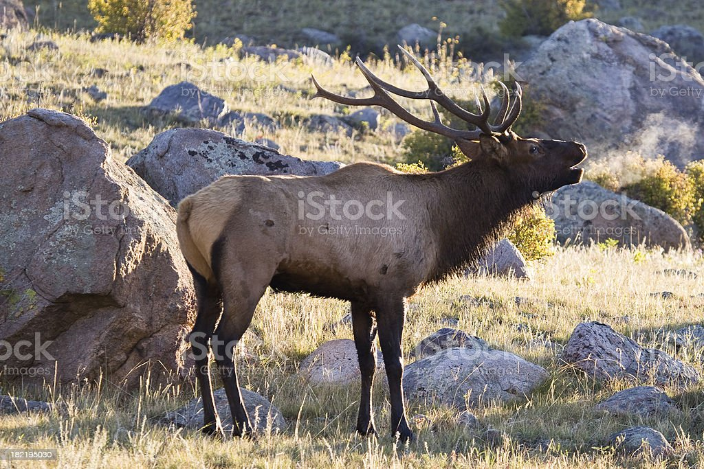 Bull Elk Bellowing At Sunrise in Rocky Mountain National Park stock photo
