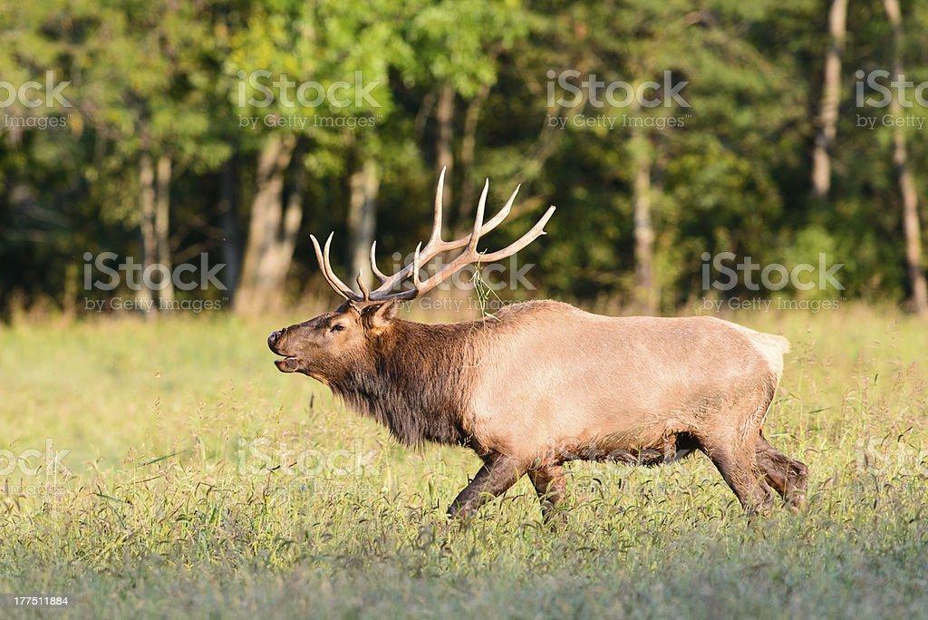 Bull elk bugleing royalty-free stock photo