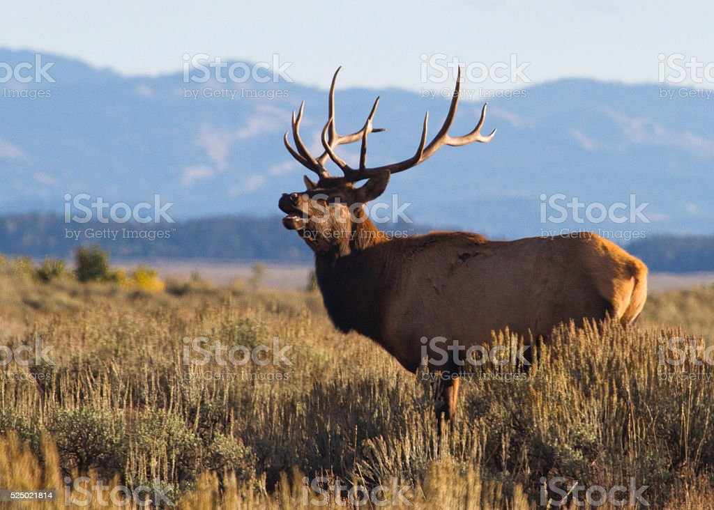 Bull Elk Bugling II stock photo
