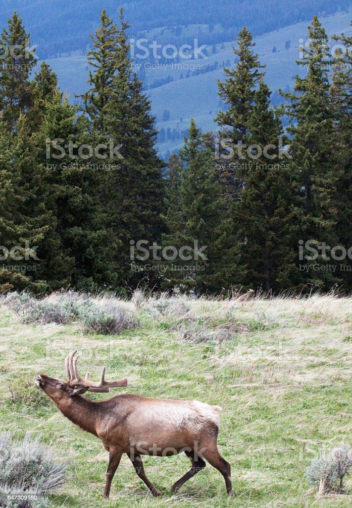 Bull elk bugling in meadow stock photo