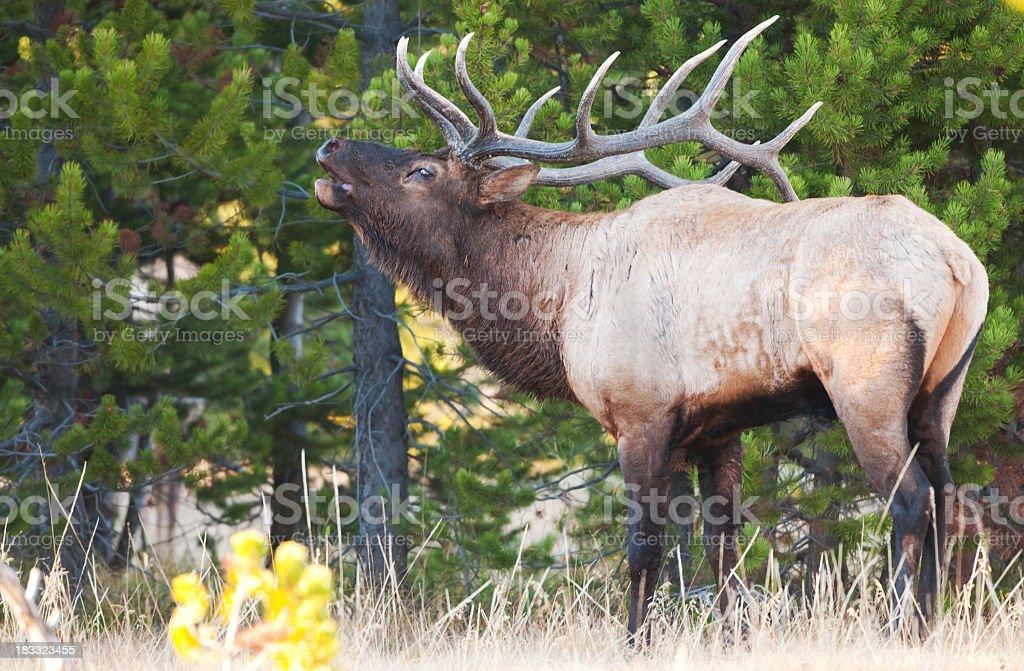 Bull Elk Bugling - Yellowstone National Park royalty-free stock photo