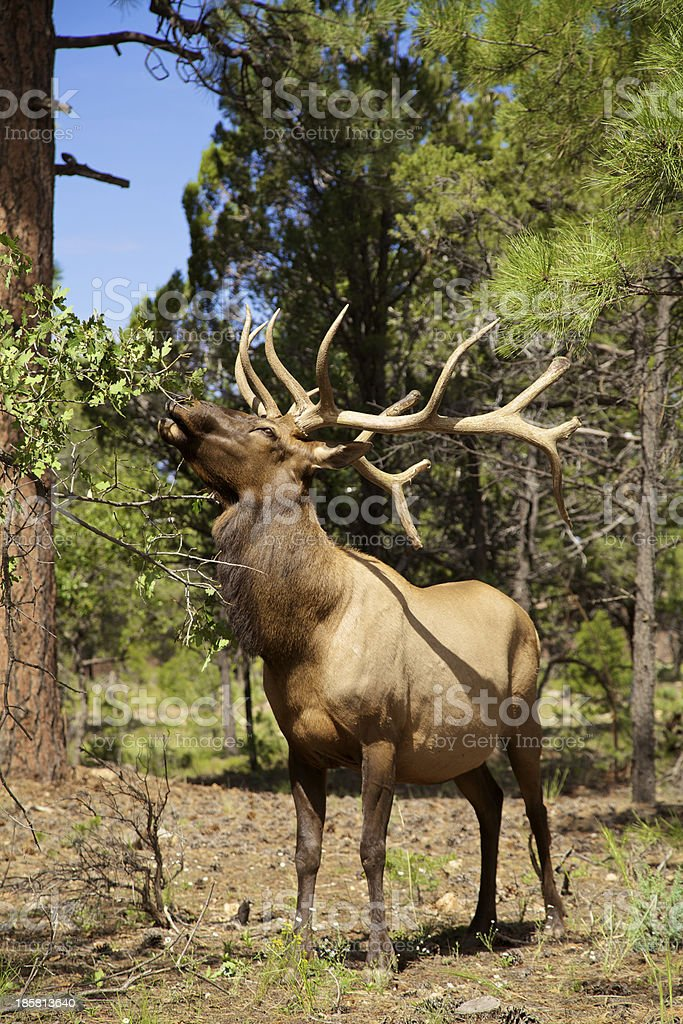 Bull Elk Feeding royalty-free stock photo