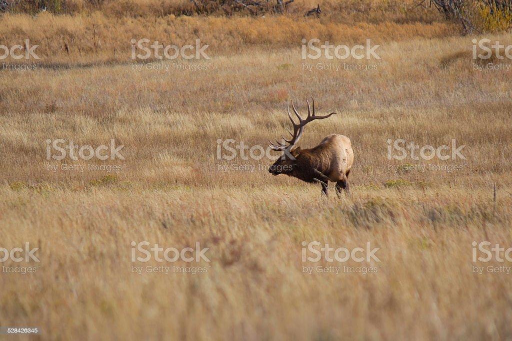 Bull Elk Grazing in a Field 1 royalty-free stock photo