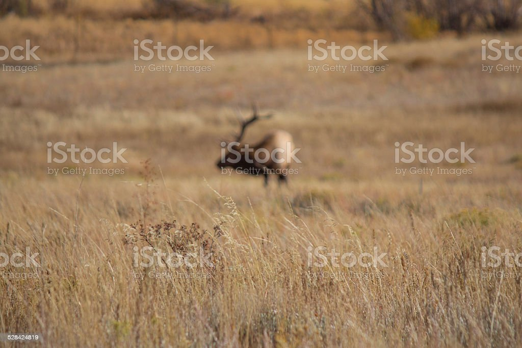 Bull Elk Grazing in a Field (Out of Focus) royalty-free stock photo