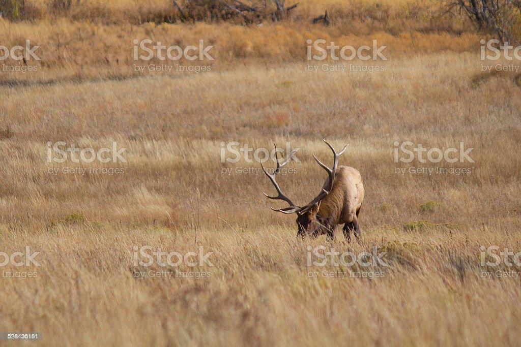Bull Elk Grazing royalty-free stock photo