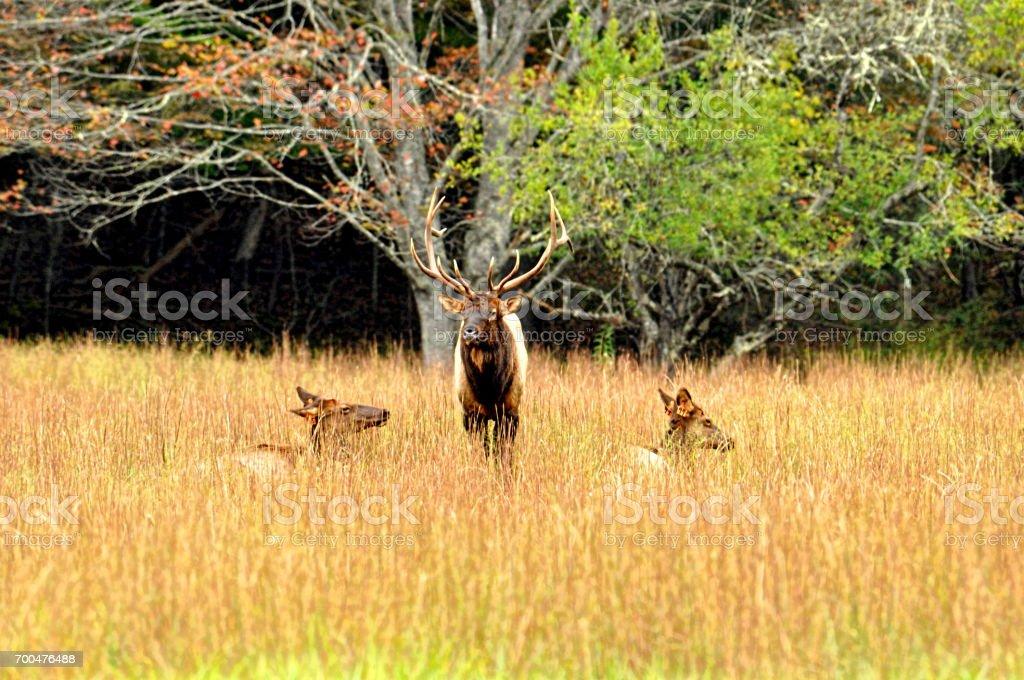 Bull Elk guarding two female elk in a field of golden grass. stock photo