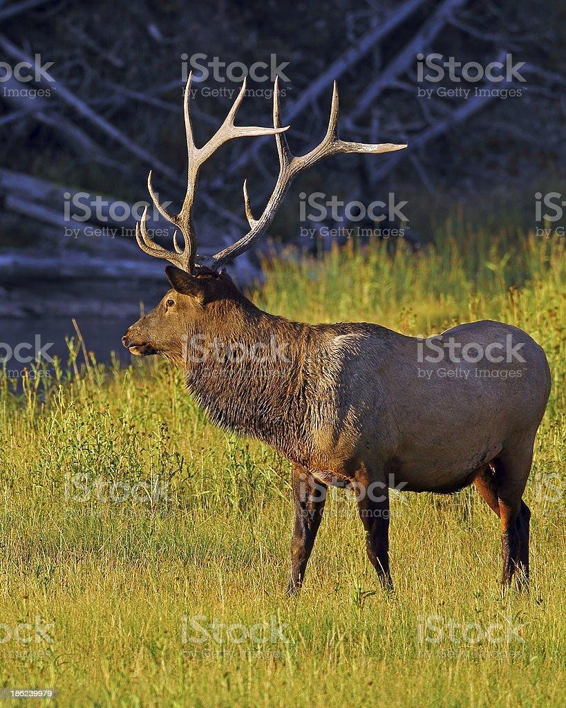 Bull Elk in Early Morning Light royalty-free stock photo