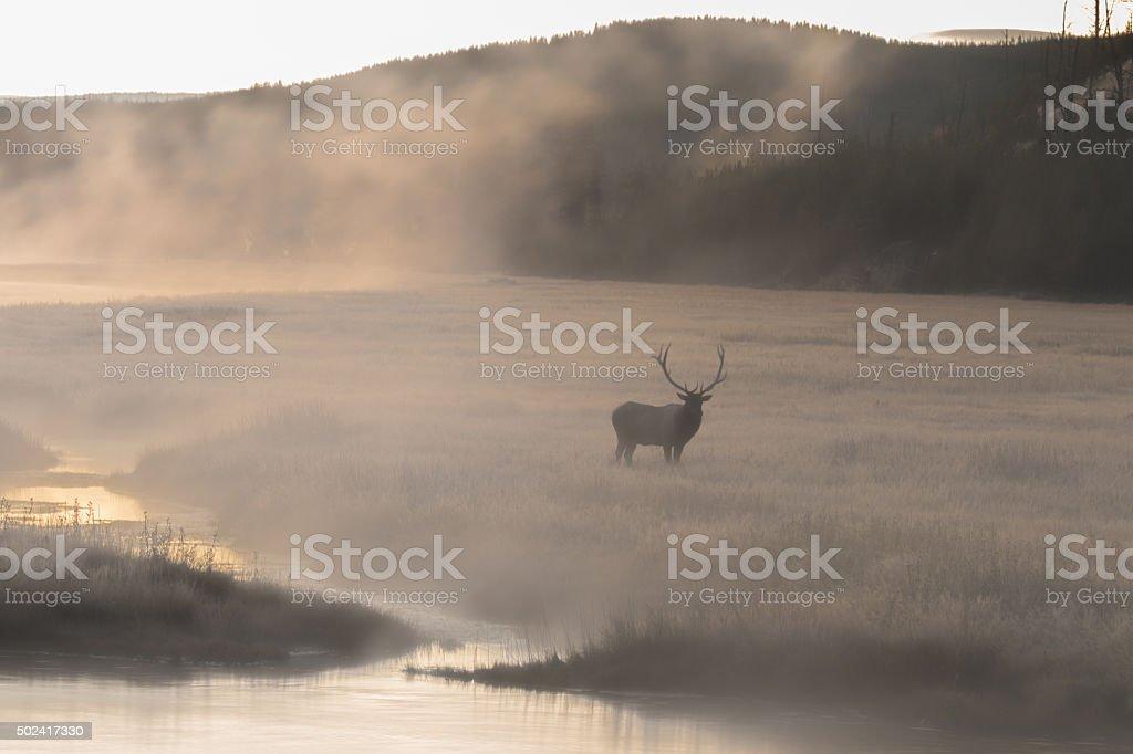 Bull Elk in Foggy Meadow stock photo