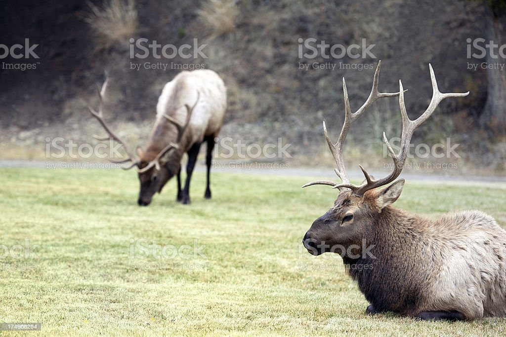 Bull Elk in Meadow royalty-free stock photo