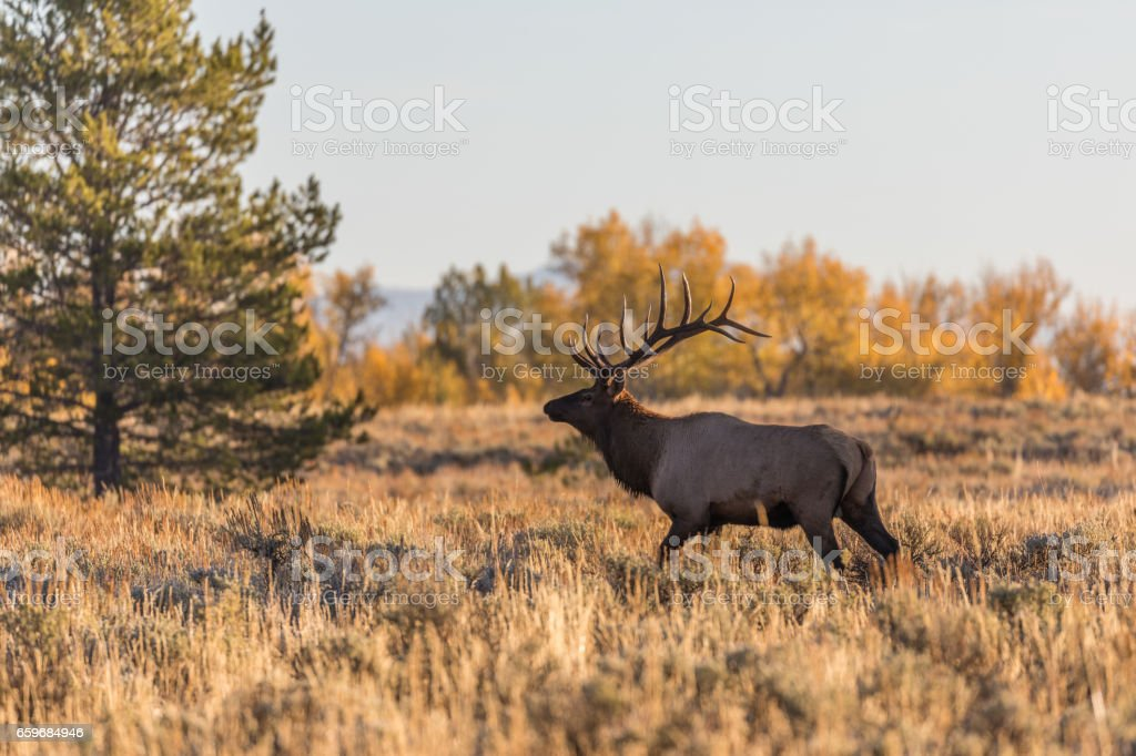 Bull Elk in Rut stock photo