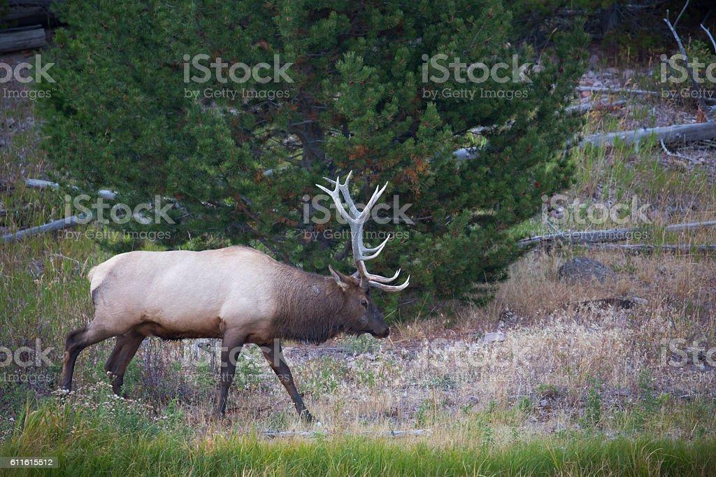 Bull Elk in Yellowstone stock photo