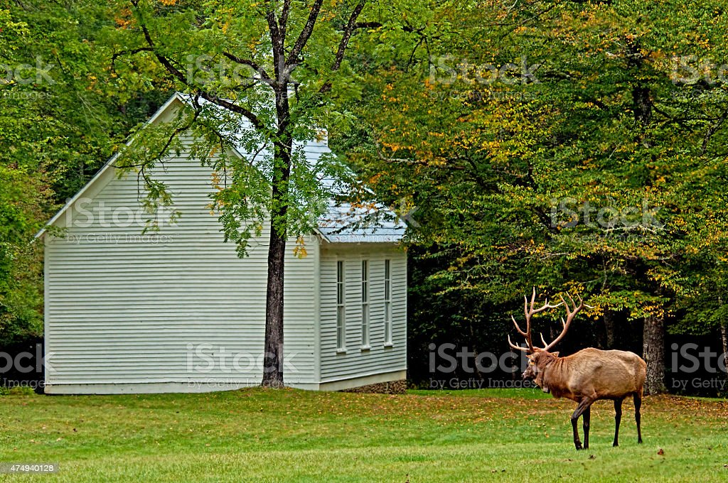 Bull elk looking at a little white church. stock photo