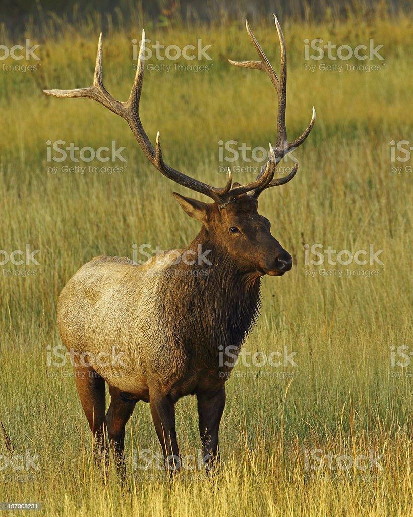 Bull Elk, Mature 'Royal' royalty-free stock photo